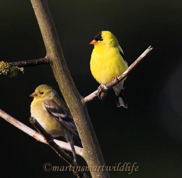 American_Goldfinch_6072ax.jpg