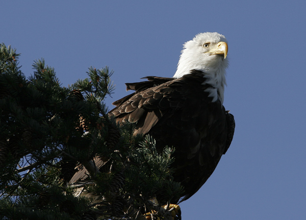 Bald Eagle 2134aa.jpg
