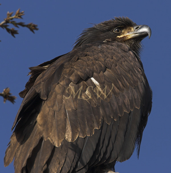 Bald_Eagle_2211xl.jpg