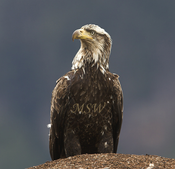 Bald_Eagle_6812xl.jpg
