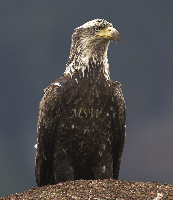Bald_Eagle_6814xl.jpg