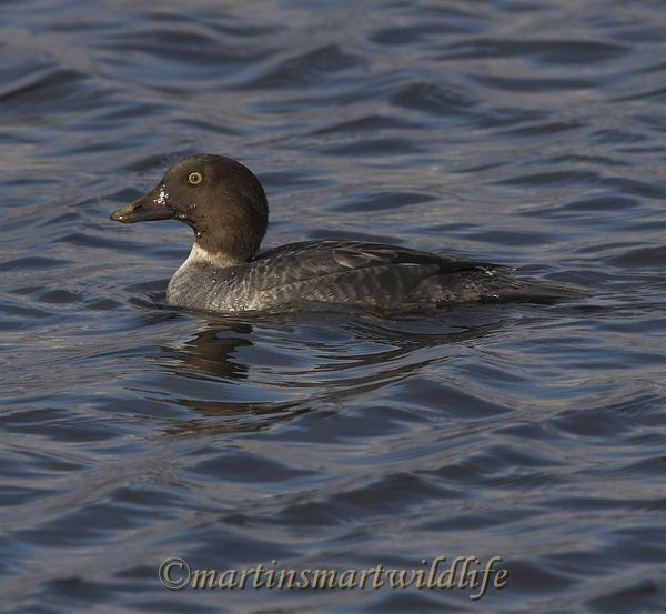 Barrows_Goldeneye_0495x.jpg