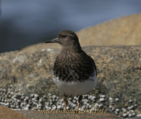 Black Turnstone 1679a.jpg