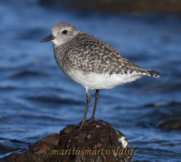Black-bellied_Plover_0721.jpg