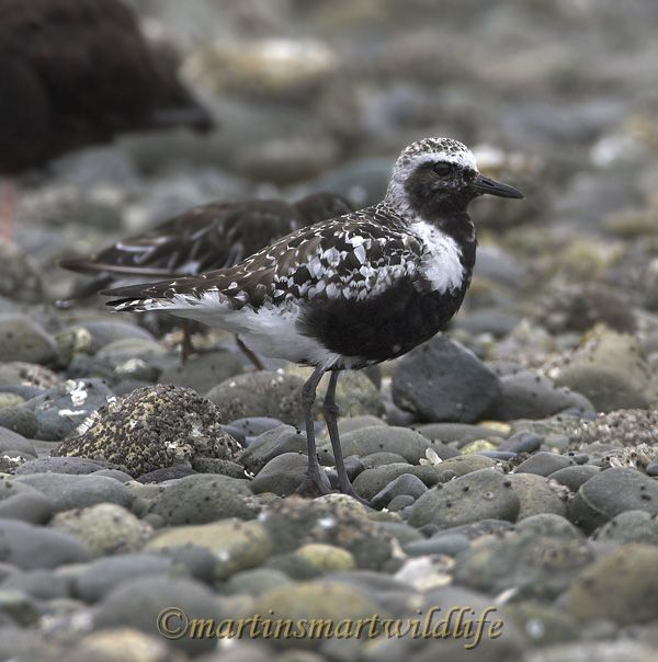 Black-bellied_Plover_8355x.jpg