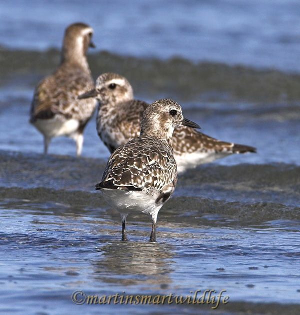 Black-bellied_Plover_8414ax.jpg