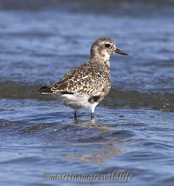 Black-bellied_Plover_8416x.jpg