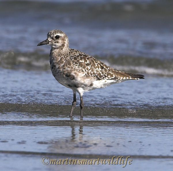 Black-bellied_Plover_8424x.jpg