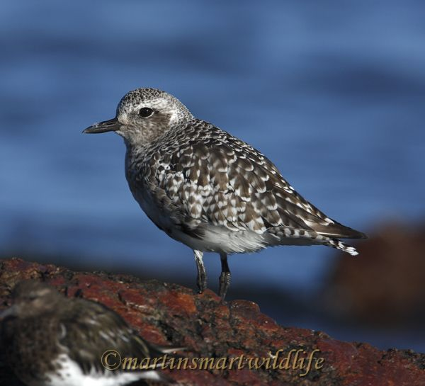 Black-bellied_Plover_9339.jpg