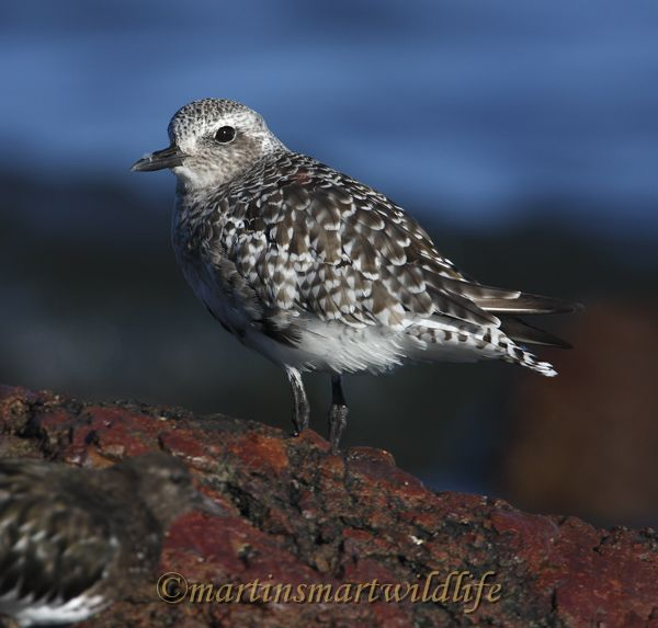 Black-bellied_Plover_9341.jpg