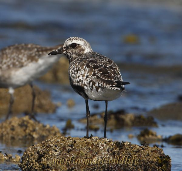 Black-bellied_Plover_9564.jpg