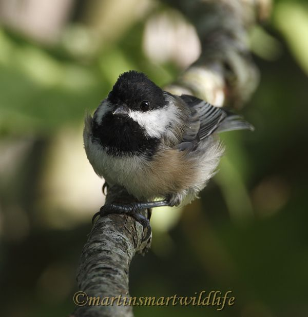 Black-capped_Chickadee_8842x.jpg