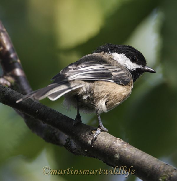 Black-capped_Chickadee_8852x.jpg