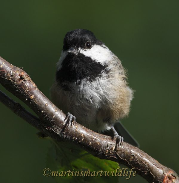 Black-capped_Chickadee_8865x.jpg
