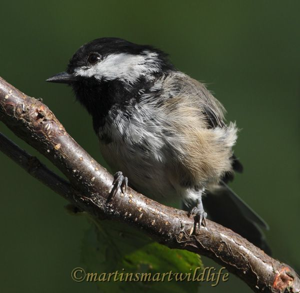 Black-capped_Chickadee_8866x.jpg