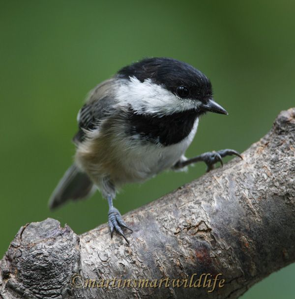 Black-capped_Chickadee_9010x.jpg