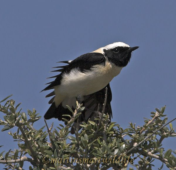 Black-eared_Wheatear_3773ax.jpg