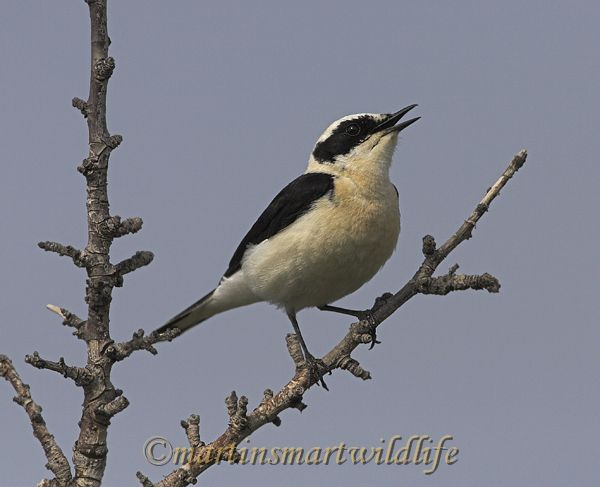 Black-eared_Wheatear_4036x.jpg