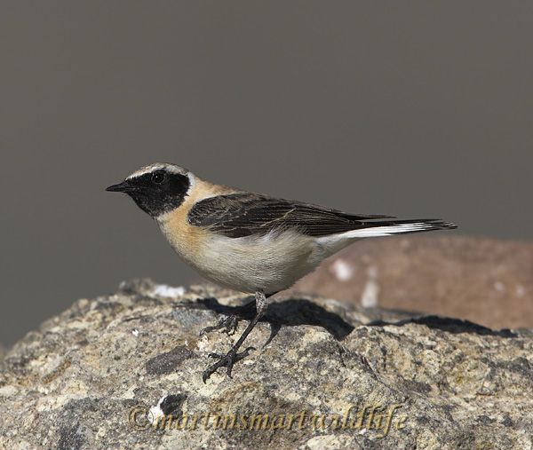 Black-eared_Wheatear_4682x.jpg