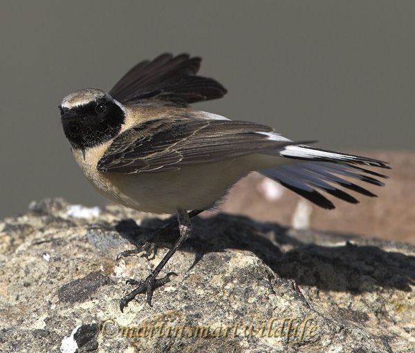 Black-eared_Wheatear_4683ax.jpg