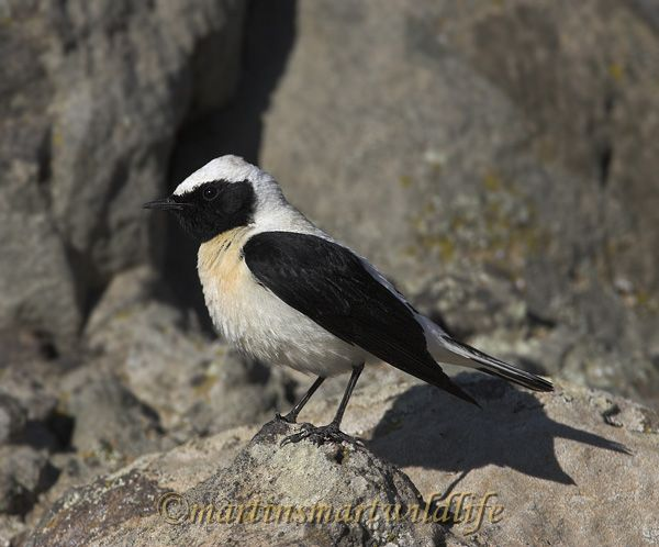 Black-eared_Wheatear_4690x.jpg