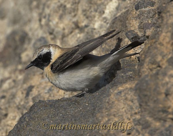 Black-eared_Wheatear_4696x.jpg