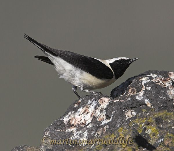 Black-eared_Wheatear_4720ax.jpg