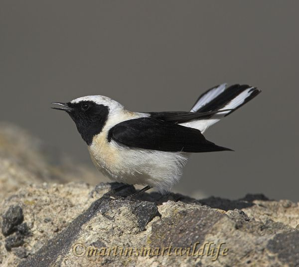 Black-eared_Wheatear_4750x.jpg