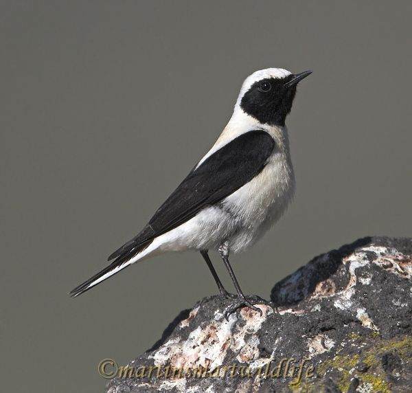 Black-eared_Wheatear_4755x.jpg
