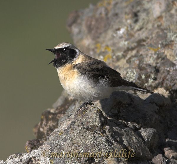 Black-eared_Wheatear_4762x.jpg