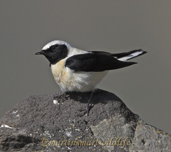 Black-eared_Wheatear_4765x.jpg