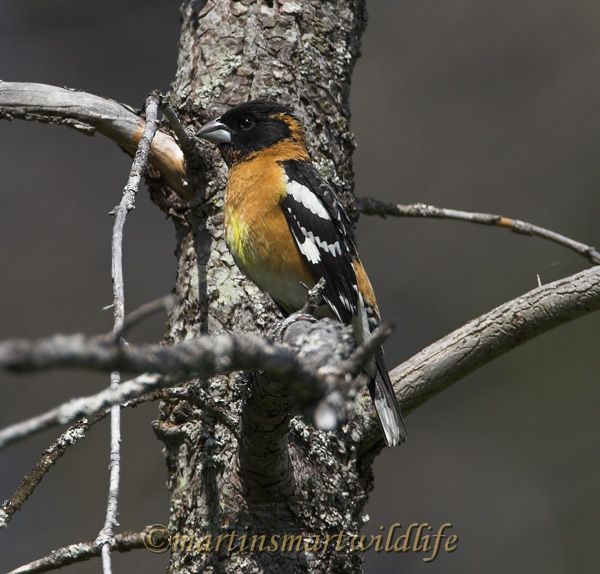 Black-headed_Grosbeak_5202x.jpg