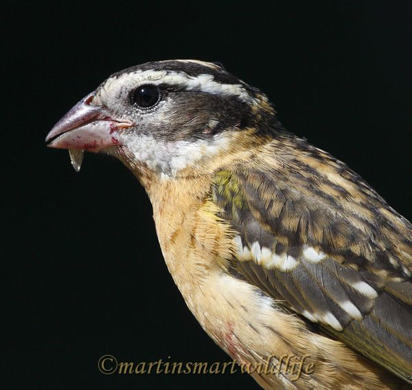Black-headed_Grosbeak_9217.jpg
