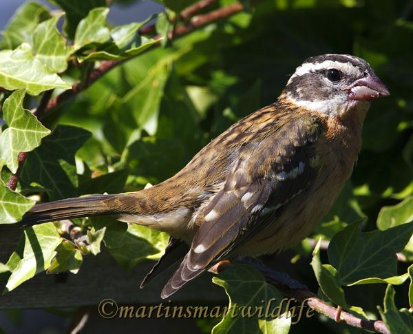 Black-headed_Grosbeak_9263.jpg