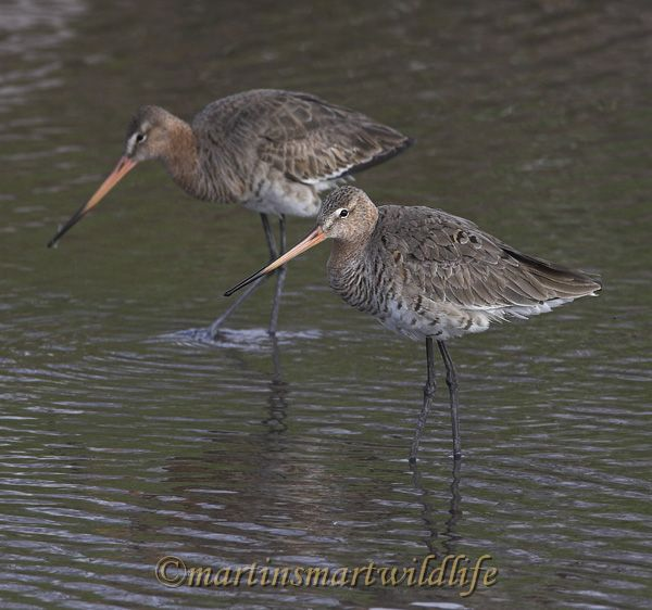 Black-tailed_Godwit_4267x.jpg