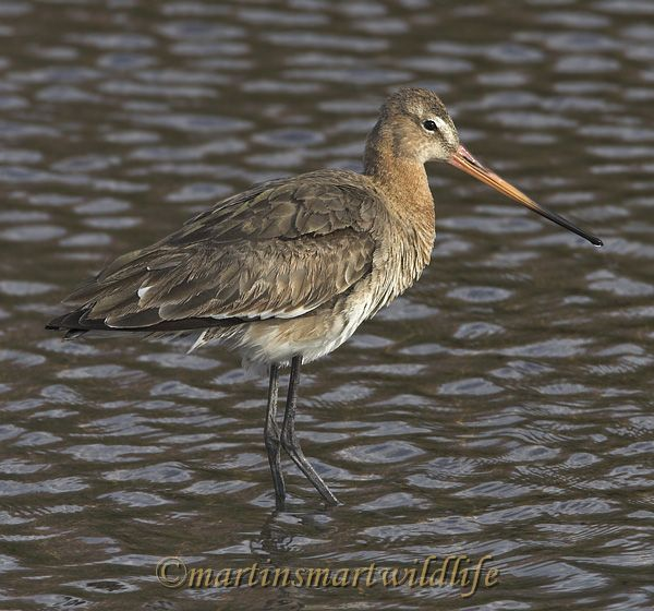 Black-tailed_Godwit_4280ax.jpg