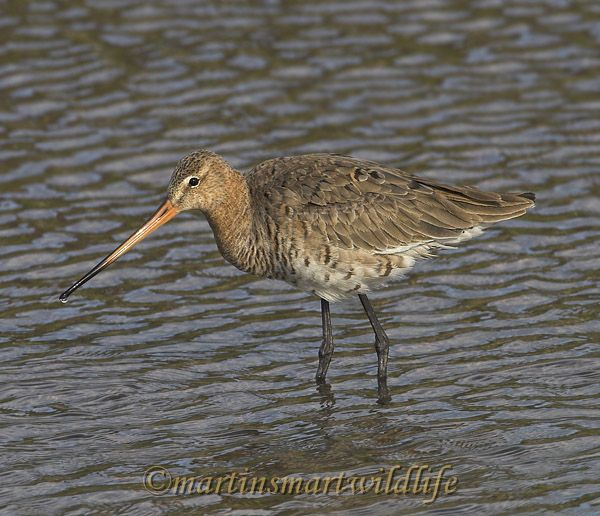 Black-tailed_Godwit_4283x.jpg