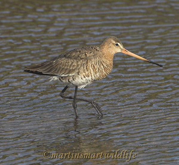 Black-tailed_Godwit_4285x.jpg