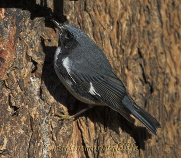 Black-throated_Blue_Warbler_0544x.jpg