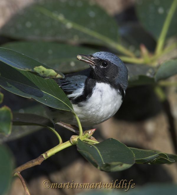 Black-throated_Blue_Warbler_0553ax.jpg