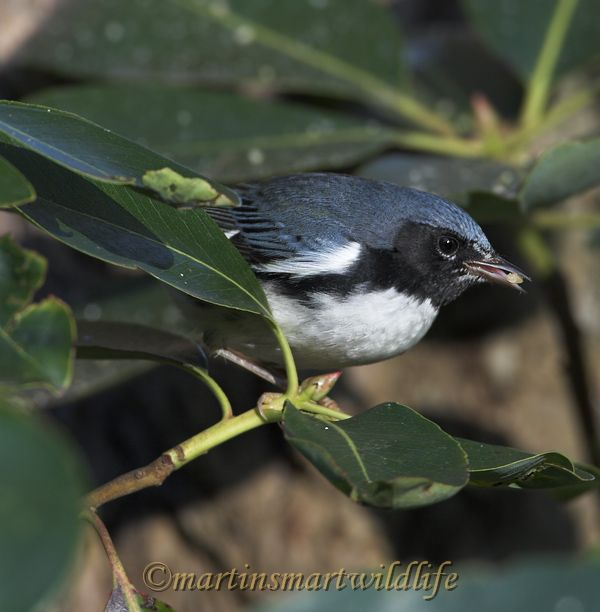 Black-throated_Blue_Warbler_0556x.jpg