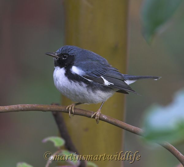 Black-throated_Blue_Warbler_0640x.jpg