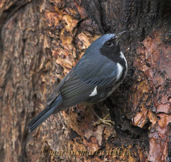 Black-throated_Blue_Warbler_0679x.jpg