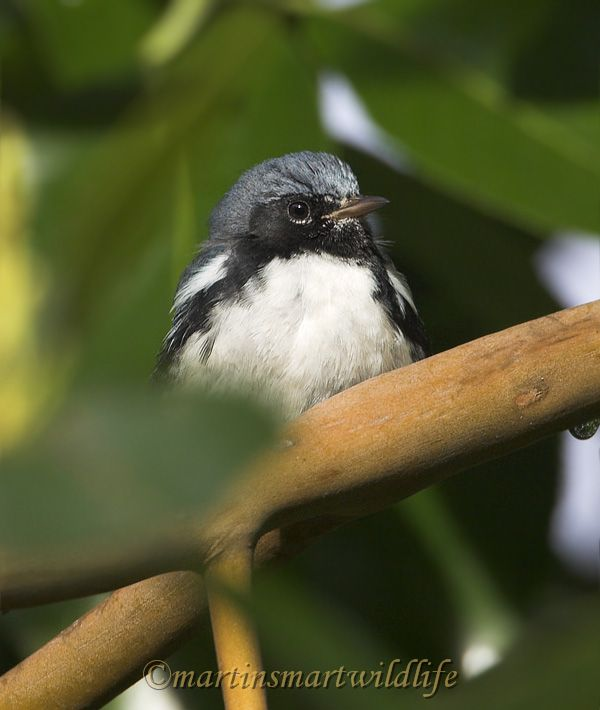 Black-throated_Blue_Warbler_0692x.jpg