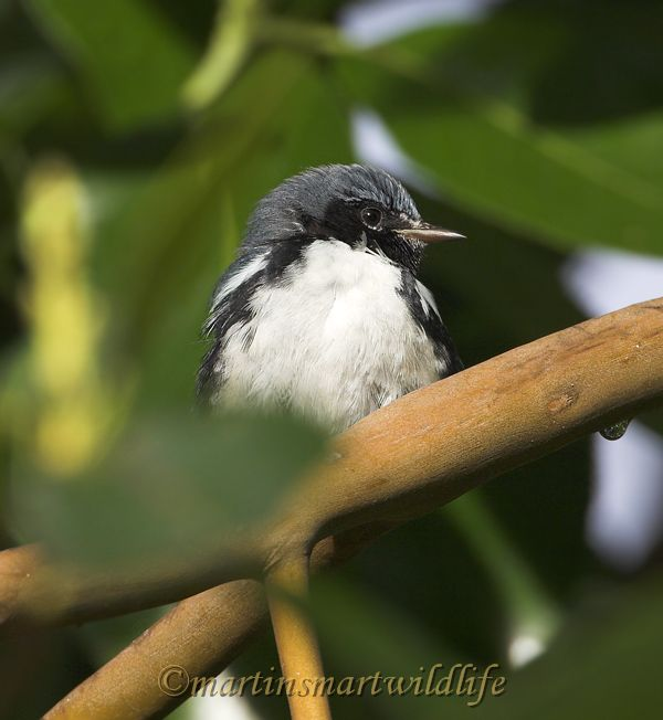 Black-throated_Blue_Warbler_0703x.jpg