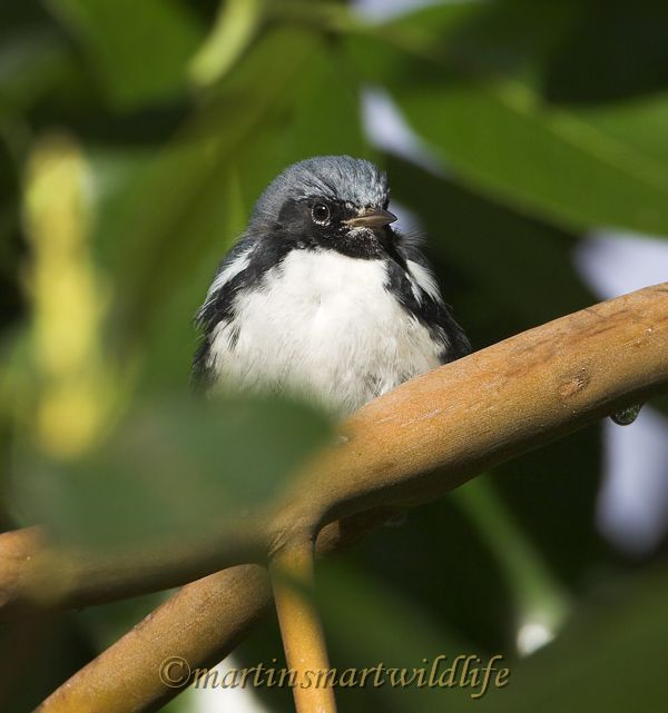 Black-throated_Blue_Warbler_0705x.jpg