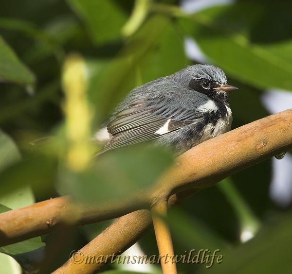 Black-throated_Blue_Warbler_0711x.jpg