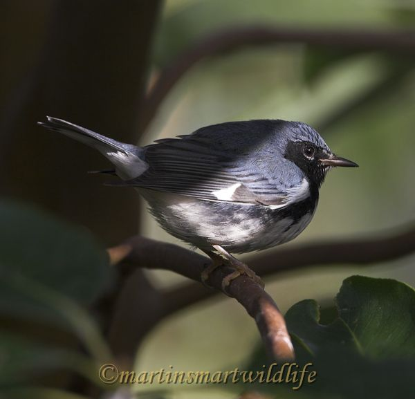 Black-throated_Blue_Warbler_0722x.jpg