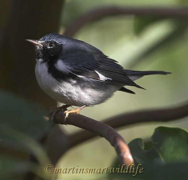 Black-throated_Blue_Warbler_0731x.jpg