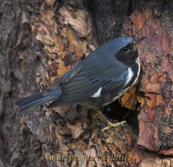 Black-throated_Blue_Warbler_0782x.jpg